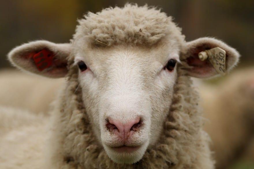 Un mouton révolté par cette étude sur le mal de dos